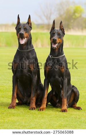 two black dobermans are sitting on the grass - stock photo