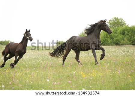Two black friesian horses running in front of white sky on pasturage