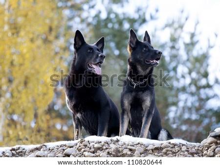 two black German shepherds - stock photo