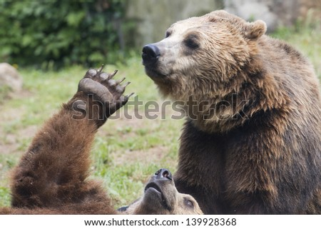 Two Black grizzly bears while fighting - stock photo