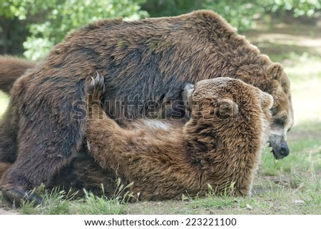 Two black grizzly bears while fighting close up portrait - stock photo