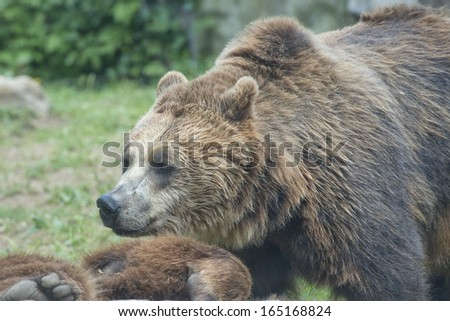 Two Black grizzly bears while playing - stock photo