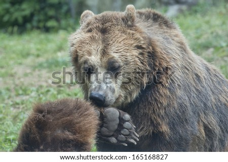 Two Black grizzly bears while playing