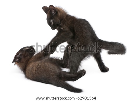 Two black kittens playing together in front of white background - stock photo