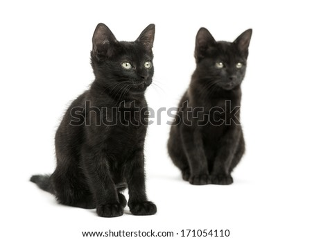 Two Black kittens sitting, looking away, 2 months old, isolated on white