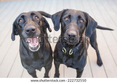 Two black Labrador retrievers on a wooden deck  - stock photo