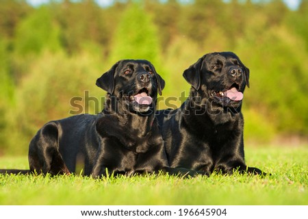 Two black labradors lying on the lawn - stock photo