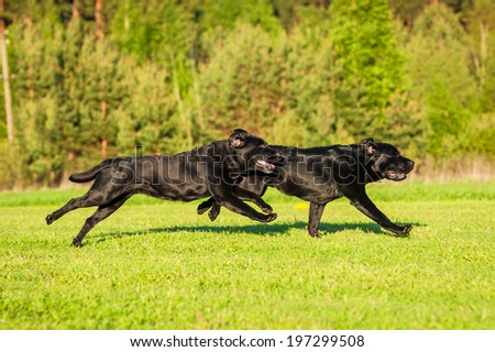 Two black labradors running