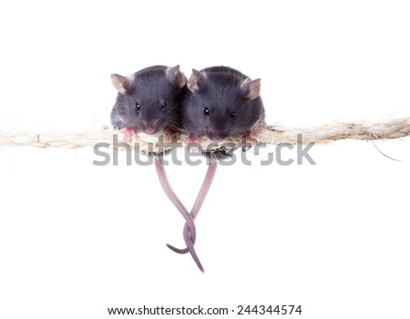 Two black little mouse sitting on a rope grappled tails. Isolated on white background - stock photo