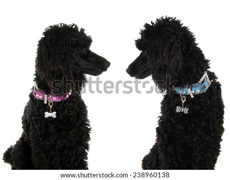 Two black poodles, staring lovingly at each other.  - stock photo