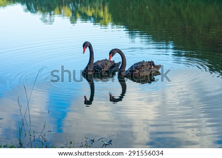 Two black swans are in lake in the evening, Northern Thailand - stock photo