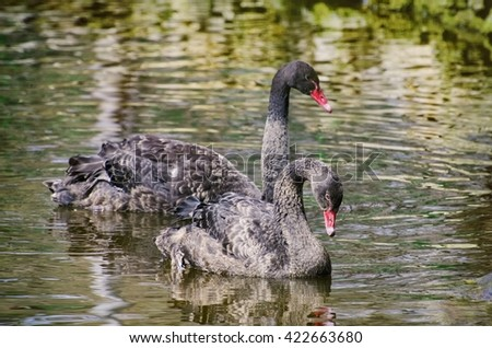 Two Black Swans at Water - stock photo