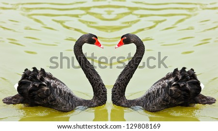 Two black swans romantically together creating a heart shape on the lake