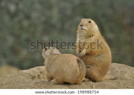 Two Black-Tailed Prairie Dog (Cynomys Ludovicianus) watching on blurred background. - stock photo