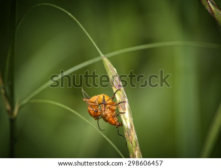 two black-tipped orange beetle mating on a straw, against a blurred green vegetation background