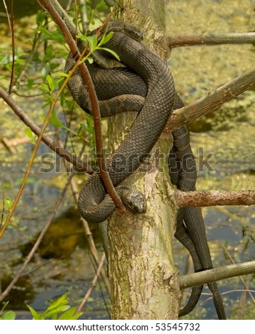 Two Black Water Snakes