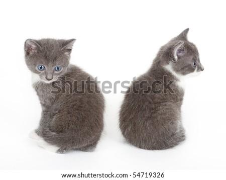 two blue eyed grey kitten isolated  on white - stock photo