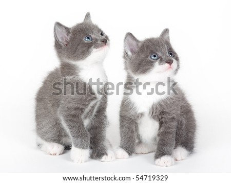 two blue eyed grey kitten isolated  on white - stock photo