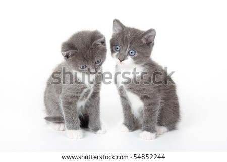 two blue eyed grey kitten isolated on white