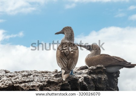 Two blue footed boobies looking into infinity