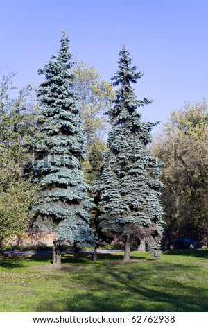 two blue spruce in autumn park - stock photo