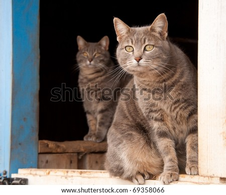 Two blue tabby cats looking out of a blue barn