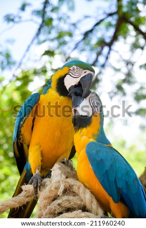 Two blue, yellow and green macaws sitting on ropes playing, cute birds - stock photo