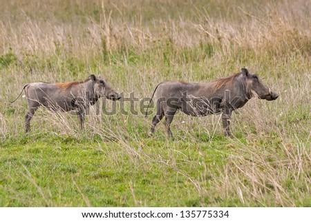Two boar warthogs (Phacochoerus africanus) stand in profile on savanna plain. Serengeti National Park, Tanzania, Africa. - stock photo
