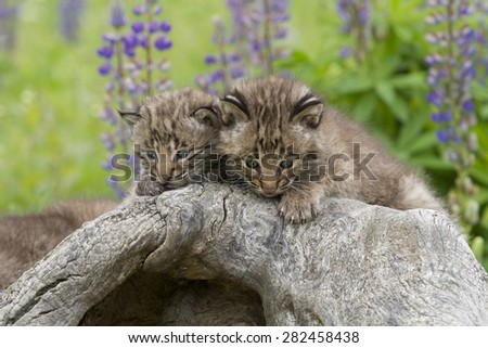Two Bobcat Kittens on Log with Wildflowers in the Background - stock photo
