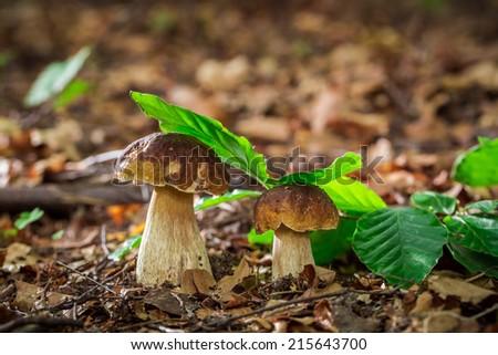 Two boletus mushrooms in oak forest - stock photo