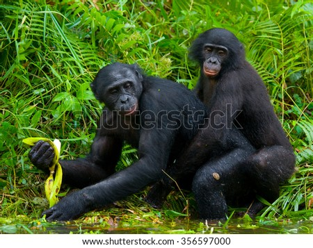 Two Bonobos make love with each other. Democratic Republic of Congo. Lola Ya BONOBO National Park. An excellent illustration.