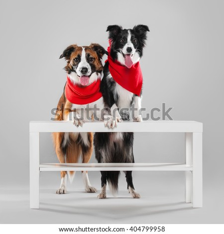 Two border collie abut paws on the table