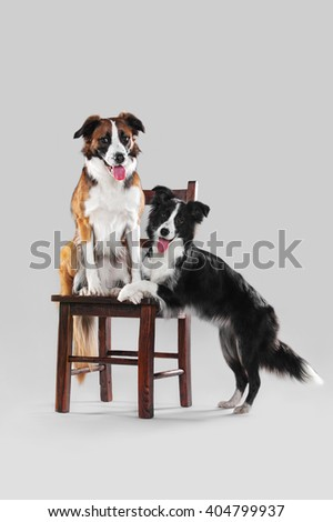 Two border collie and a chair
