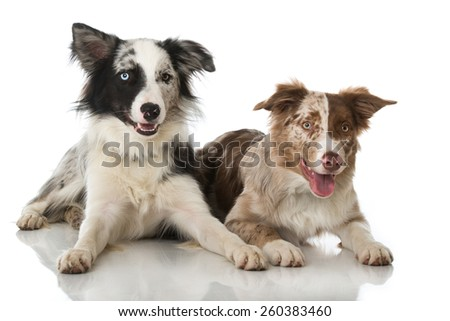 Two border collie dogs - stock photo
