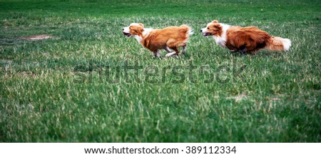 Two Border Collie dogs running on the park's grass.