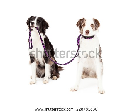 Two Border Collie Dogs taking each other for a walk. One dog is holding lead in its mouth while the other dog has lead attached to the collar. - stock photo