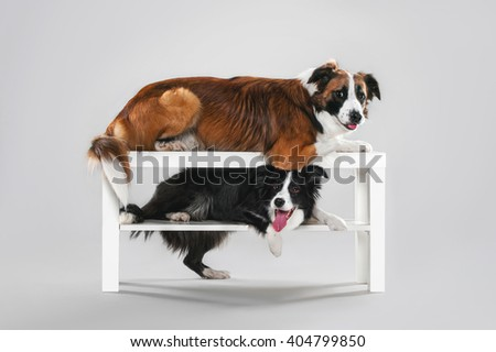 Two border collie in studio on the table