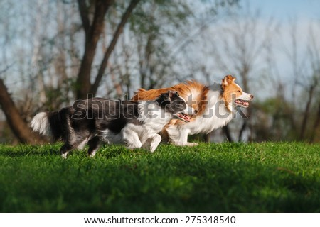 Two border collie running - stock photo