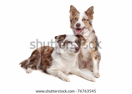 two border collie shepherd dogs in front of a white background