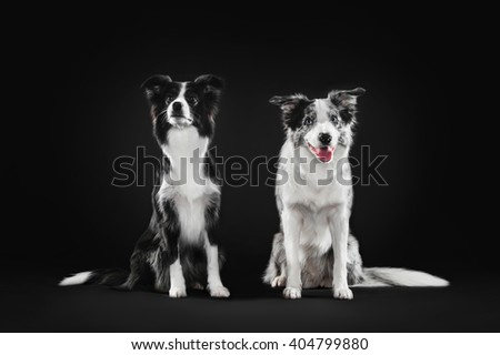 Two border collie sitting