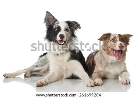 Two border collies - stock photo