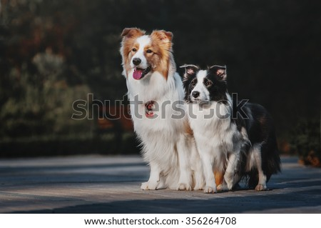 Two Border Collies are the city