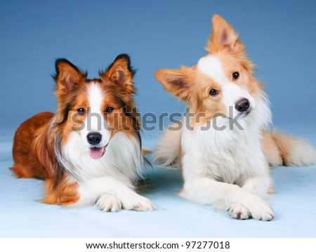 Two border collies in studio, training dogs - stock photo