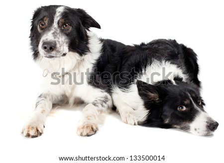 two border collies in studio witb white background