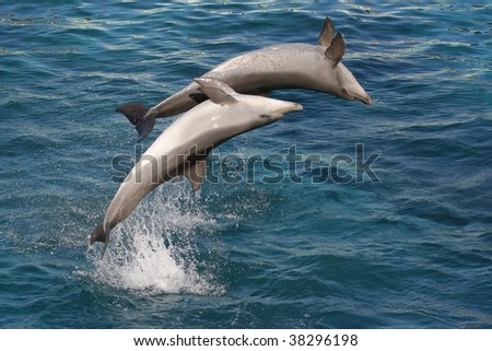 Two Bottle nose dolphins jumping in blue water up side down - stock photo