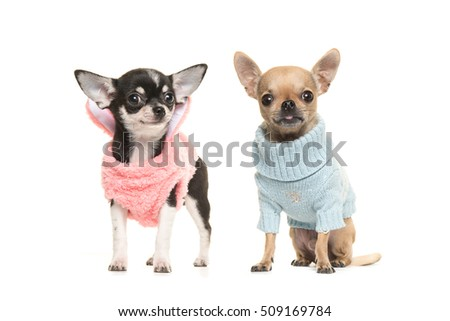 Two boy and girl chihuahua puppy dogs wearing a pink sweater and wearing a blue sweater