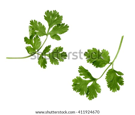 two branches of coriander on a white background