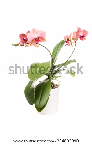 Two branches with salmon orchid in pot isolated on white - stock photo