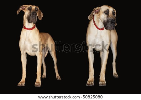 Two Brazilian mastiffs (Fila brasileiro) standing side by side, front view - stock photo