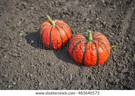Two bright orange pumpkins outdoors lying on the ground